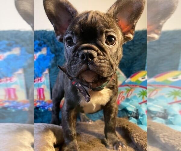 Medium Photo #2 French Bulldog Puppy For Sale in HEATHROW, FL, USA