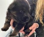 Small #8 German Shepherd Dog