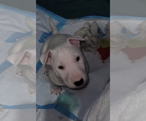 Bull Terrier Puppy for Sale in LONG BEACH, California USA