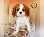 Champion sired Cavalier King Charles puppy