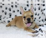 Small Photo #3 French Bulldog Puppy For Sale in WASHINGTON, DC, USA