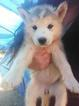 Siberian Husky Puppy For Sale in CULLEN, Virginia,