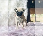 Small Photo #4 Pug Puppy For Sale in CANTON, CT, USA
