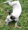 Australian Stumpy Tail Cattle Dog puppy for sale