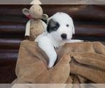 Small #12 Anatolian Shepherd-Maremma Sheepdog Mix