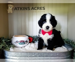 Bernedoodle Puppy for Sale in CHENOA, Illinois USA