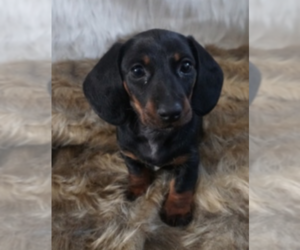 Dachshund Puppy for sale in PERRIS, CA, USA