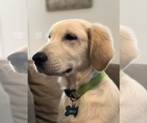 Golden Retriever Puppy for sale in LEXINGTON, KY, USA