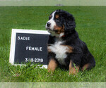 Puppy 7 Bernese Mountain Dog