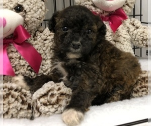 Poodle (Toy)-Yorkshire Terrier Mix Puppy for Sale in CONOWINGO, Maryland USA