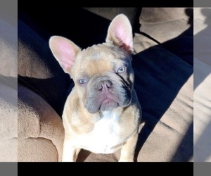 Mother of the French Bulldog puppies born on 07/06/2019