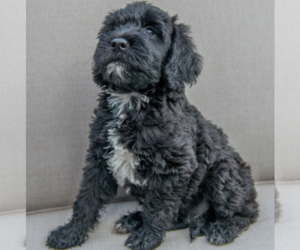 Labradoodle Puppy for Sale in KINGSTON, Tennessee USA