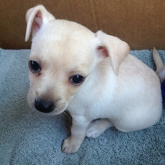 Chiweenie Puppy for sale in SAN DIEGO, CA, USA