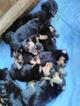 Rottweiler Puppy For Sale in ZEPHYRHILLS, FL, USA