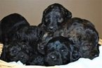 Labradoodle Puppy For Sale in PLYMOUTH, NE,