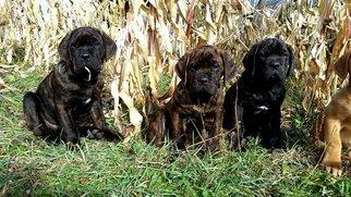 Cane Corso Puppy For Sale in MAZOMANIE, WI, USA