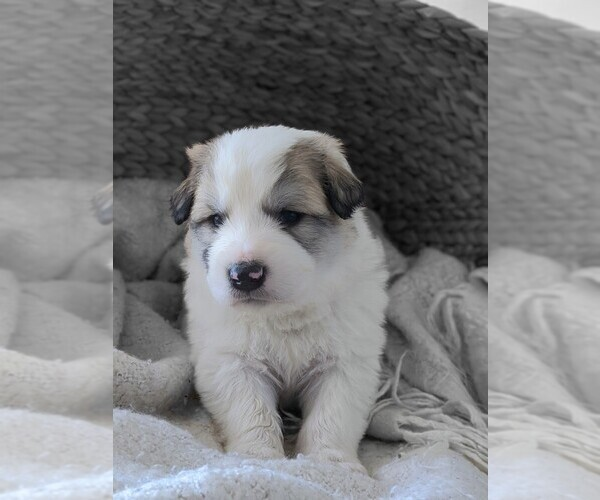 Medium Photo #2 Great Pyrenees Puppy For Sale in FALCON, CO, USA