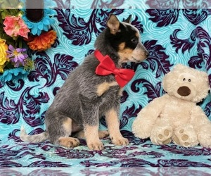 Australian Cattle Dog Puppy for sale in LANCASTER, PA, USA
