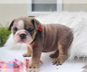 English Bulldog Puppy for sale in JACKSONVILLE, FL, USA