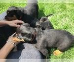 Small #39 Rottweiler