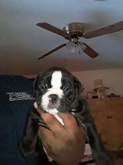 Bulldog Puppy For Sale in CAMANCHE LAKE, CA, USA