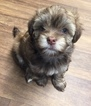 Havanese Puppy For Sale in GREENSBURG, PA