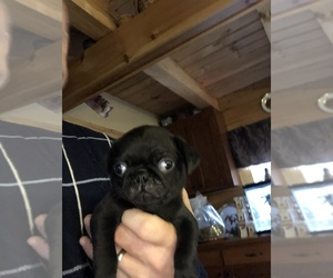 Pug Puppy for sale in WILLIAMSBURG, VA, USA