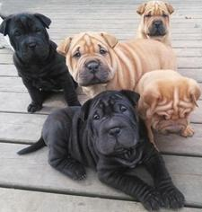 Chinese Shar-Pei Puppy For Sale in OSCEOLA, WI