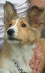 Shetland Sheepdog Puppy For Sale in FAIRVIEW, TN, USA