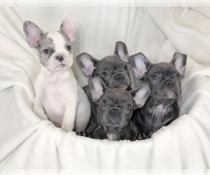 French Bulldog Puppy for sale in DUBLIN, OH, USA