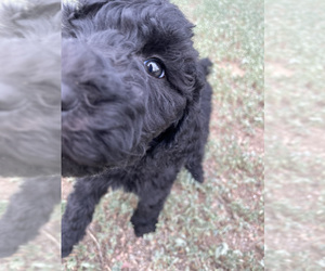 Poodle (Standard) Puppy for sale in FOUNTAIN, CO, USA