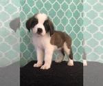 Puppy 2 Saint Bernard