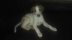 Whippet Puppy For Sale in WARREN, MI, USA