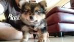 Pomeranian Yorkshire Terrier Puppy