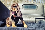 Bloodhound Puppy For Sale in GADSDEN, AL, USA
