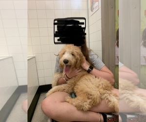 Goldendoodle Puppy for sale in ATLANTIC BEACH, FL, USA