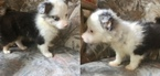 Chihuahua Puppy For Sale in JOHNSTOWN, PA,
