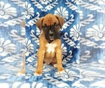 Adorable Boxer Puppy
