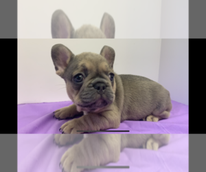 French Bulldog Puppy for Sale in PANGBURN, Arkansas USA