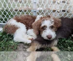 Schnoodle (Miniature) Puppy for sale in CHESAPEAKE, VA, USA