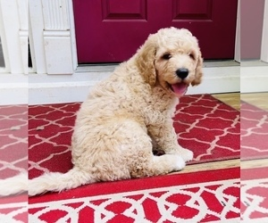 Double Doodle Puppy for Sale in MAGNOLIA, Texas USA