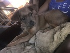 Australian Shepherd-Unknown Mix Dog For Adoption in CHANDLER, AZ
