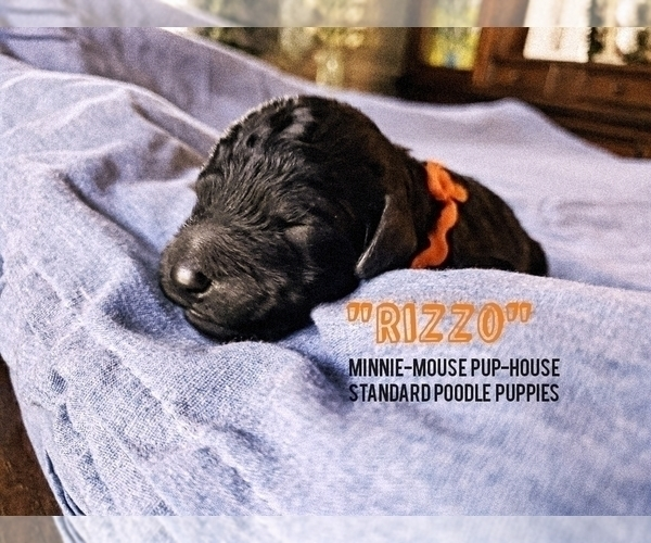 Medium Photo #8 Poodle (Standard) Puppy For Sale in DYERSBURG, TN, USA