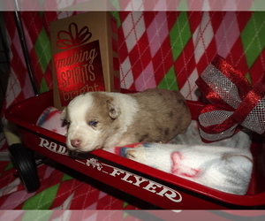 Australian Shepherd Puppy for sale in WEST PLAINS, MO, USA