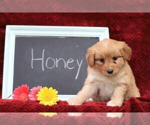 Cock-A-Poo-Pomsky Mix Dog for Adoption in FREDERICKSBG, Ohio USA