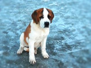 Saint Bernard Puppy for sale in ANN ARBOR, MI, USA