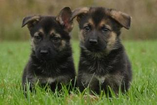 German Shepherd Dog Puppy For Sale in NEW YORK, NY