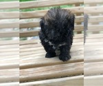 Small #9 Maltese-Poodle (Toy) Mix