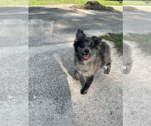 Pomeranian Puppy for sale in JACKSONVILLE, FL, USA