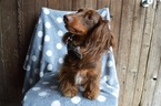 Dachshund Puppy For Sale in HONEY BROOK, Pennsylvania,